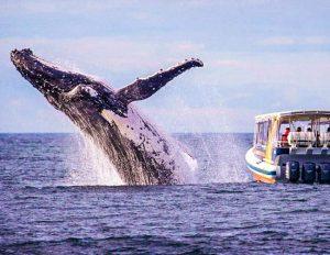 humbpack whales in ecuador